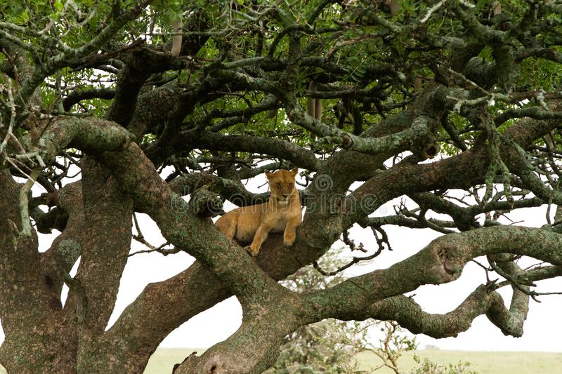 Eastern African lioness Panthera leo in tree stock photo