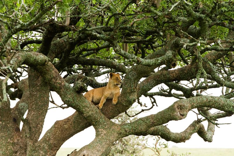 Eastern African lioness Panthera leo in tree stock photos