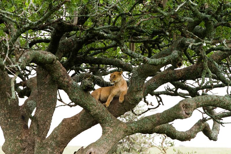 Eastern African lioness Panthera leo in tree royalty free stock image