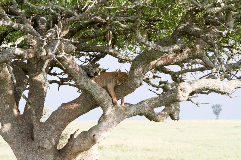 Eastern African lioness Panthera leo in tree. Eastern African lioness Panthera leo, species in the family Felidae and a member of the genus Panthera, listed as royalty free stock images