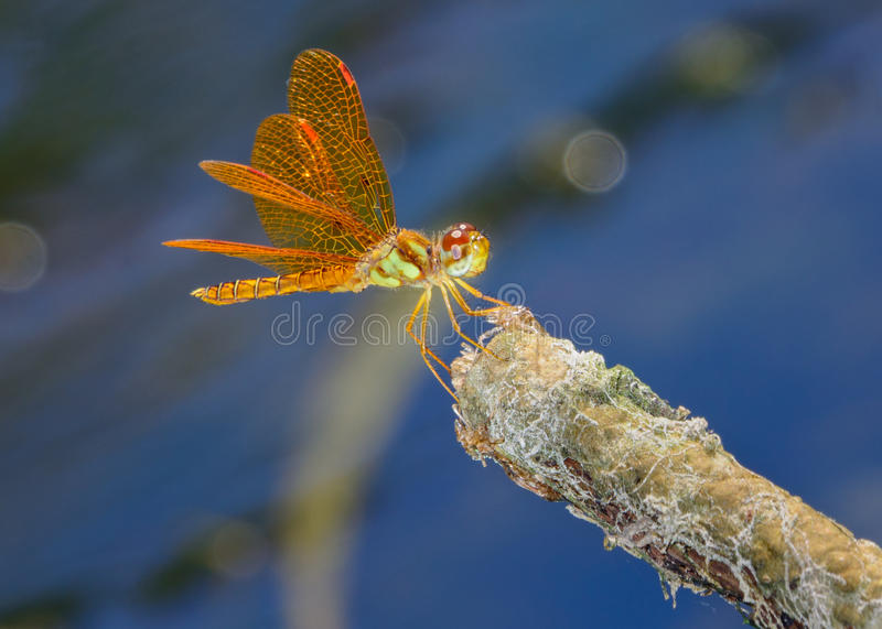 Eastern amberwing Perithemis tenera. Young eastern amberwing Perithemis tenera posed on the end of a small twig in a pond. Blue water background royalty free stock photography