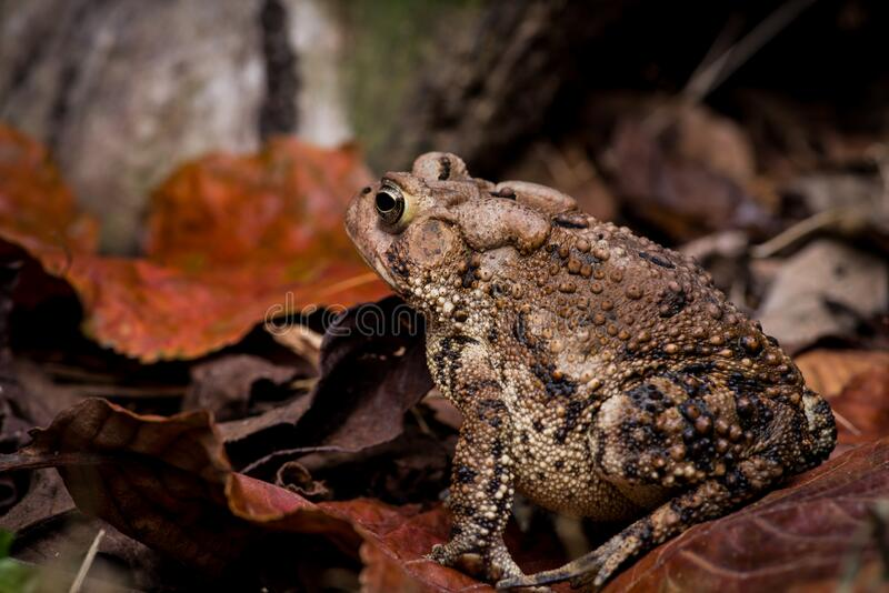 Eastern American Toad low perspective left side portrait, with cranial crests and parotoid glands visible. Eastern American Toad low perspective left side royalty free stock photos
