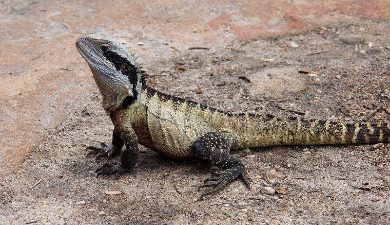 Eastern australian water dragon stock photo