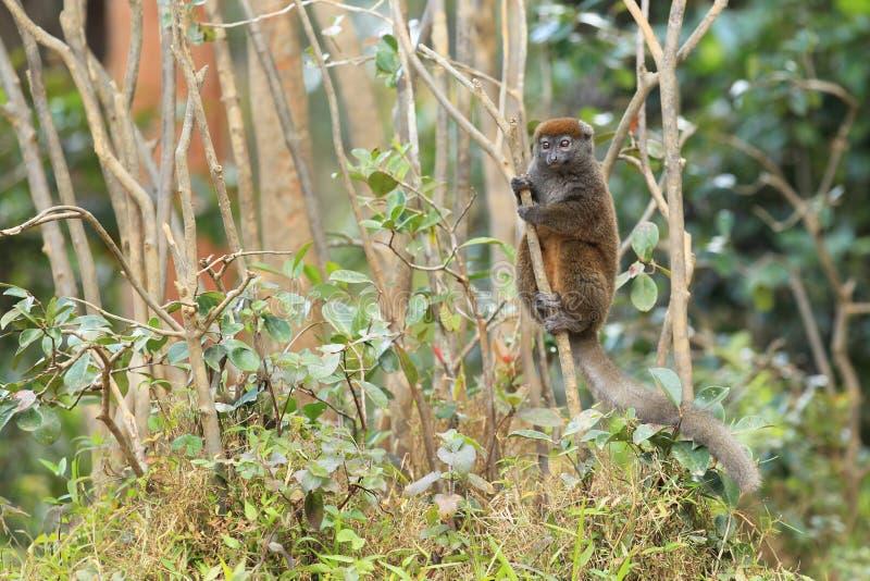 Eastern bamboo lemur royalty free stock photo