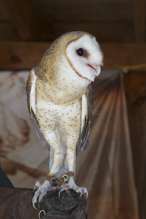 Eastern Barn Owl stock image