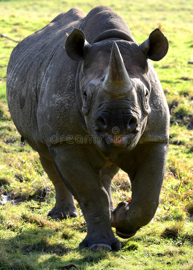 Eastern Black Rhino. Portrait of an Eastern Black Rhino (Diceros bicornis michaeli stock image
