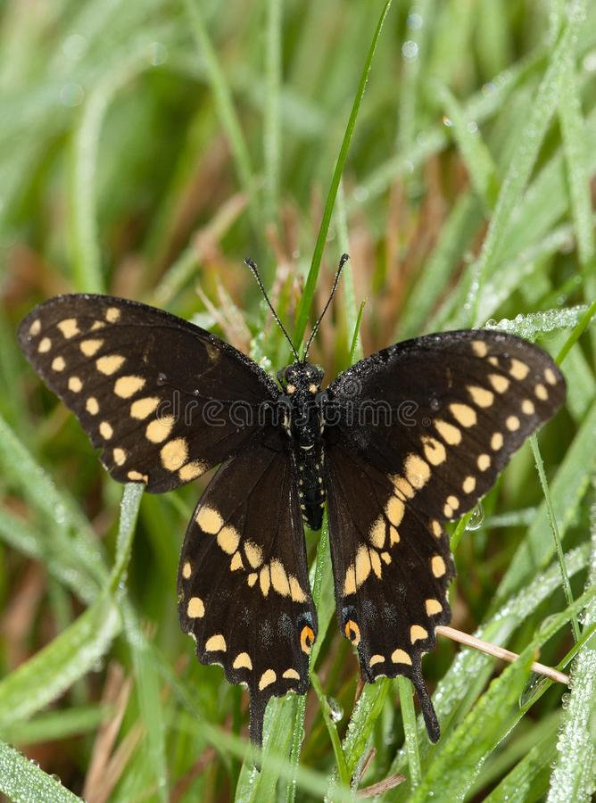 Eastern Black Swallowtai Butterfly alights on dew covered grass royalty free stock images