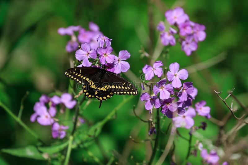 Eastern Black Swallowtail butterfly. An Eastern Black Swallowtail butterfly, feeds on a green plant along a trail in the park during the summer royalty free stock photos