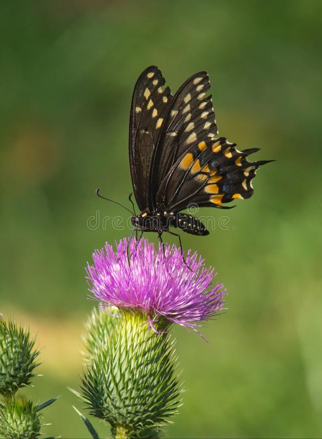 Eastern Black Swallowtail Butterfly On Thistle stock photos