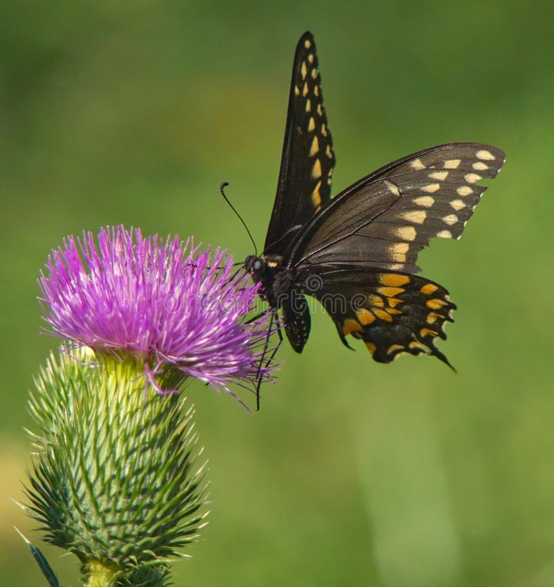 Eastern Black Swallowtail Butterfly On Thistle stock photography