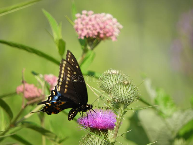 Eastern Black Swallowtail butterfly among wildflowers stock image