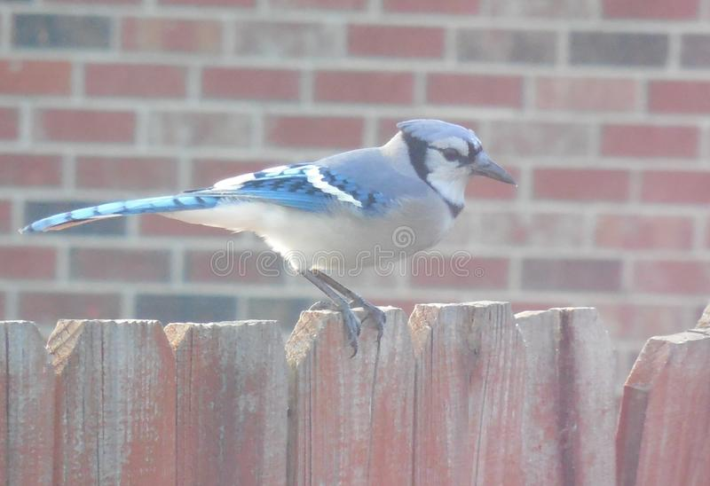 Eastern Blue Jay on Fence. Eastern Blue Jay, Cyanocitta cristata, sits on a backyard fence, eyeing a bird feeder. They are common backyard visitors in the stock image