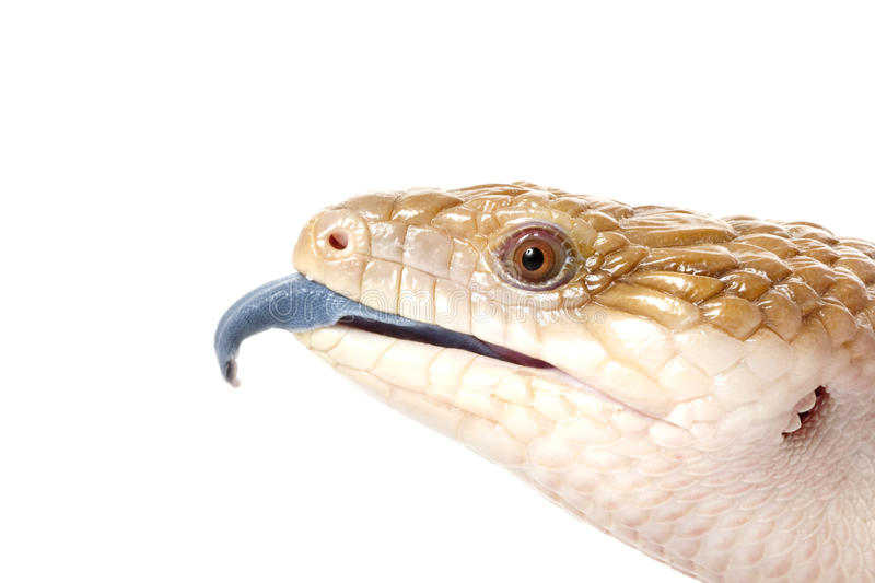 Eastern Blue-tongued Skink royalty free stock image