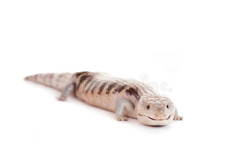 Download Eastern Blue-tongued Skink On White Stock Photo - Image of background, copy: 42180524