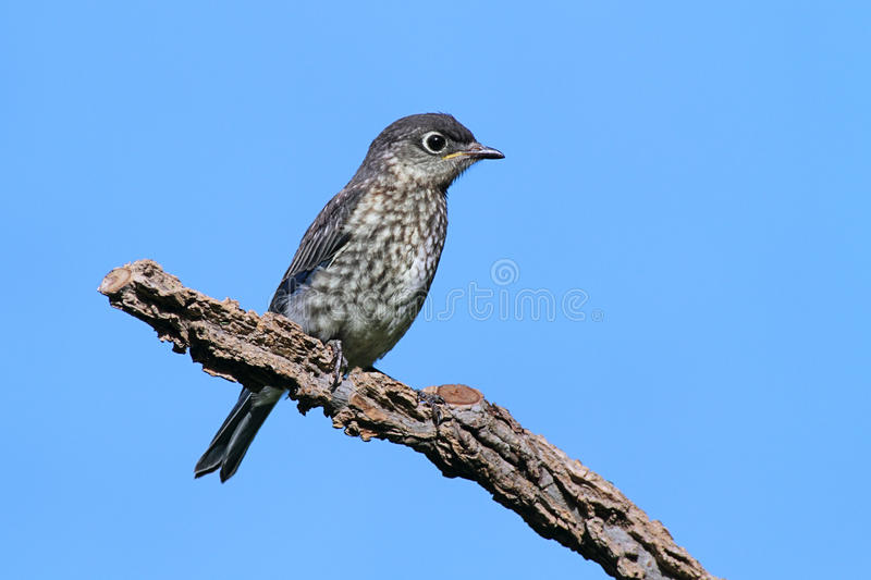 Download Eastern Bluebird Royalty Free Stock Photo - Image: 14776655