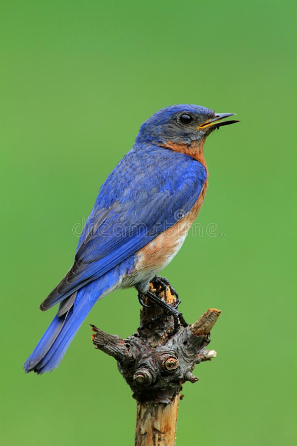 Eastern Bluebird. Male Eastern Bluebird (Sialia sialis) with a green background royalty free stock photo
