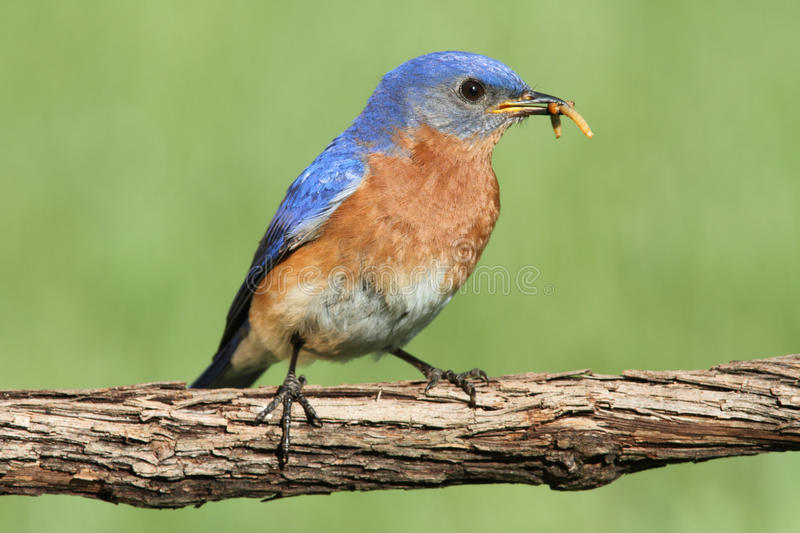 Download Eastern Bluebird stock photo. Image of worm, perch, wildlife - 19920992