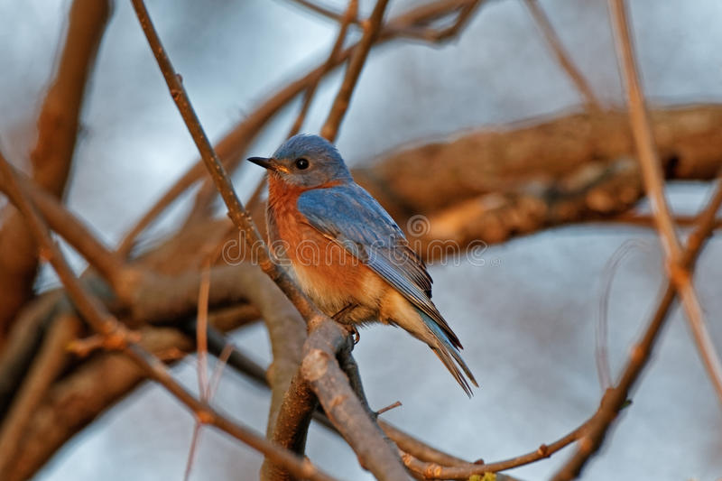 Eastern Bluebird in the Branches. An Eastern Bluebird perches on a tree branch. It's bright blue plumage stands out against the brown surrounding it. This stock photos