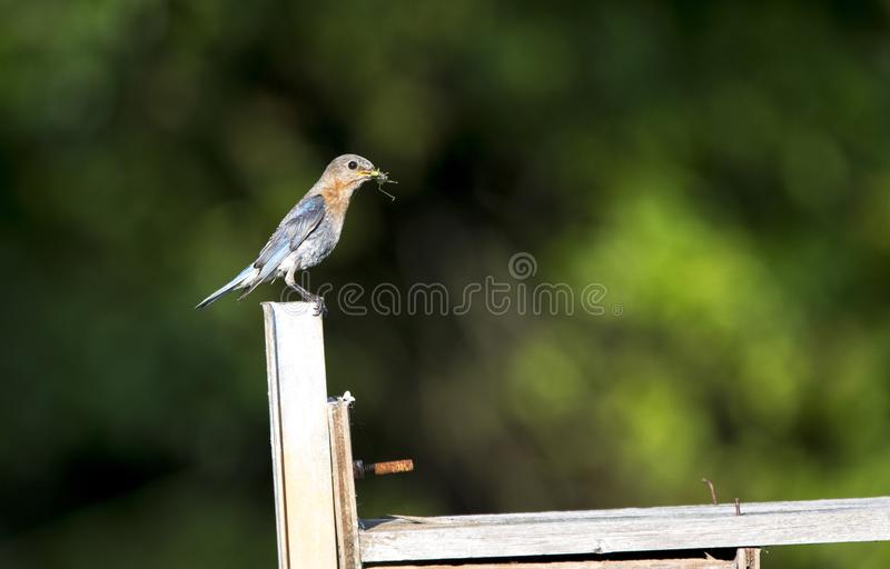 Eastern Bluebird carry food to nest box, Walton County, Georgia USA. Female Eastern Bluebird bird with grasshopper in mouth for babies in nest in duck box stock image