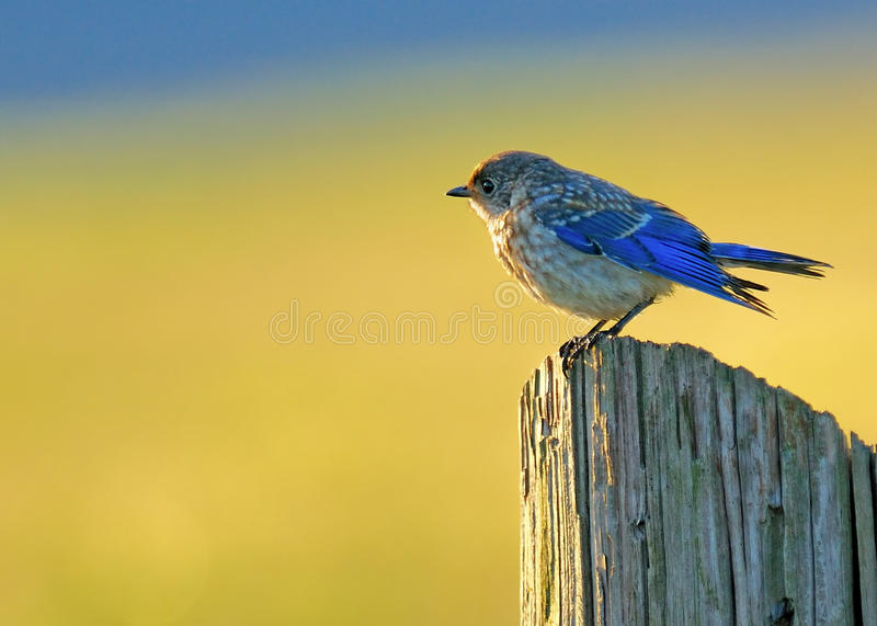 Download Eastern Bluebird  Juvenile stock photo. Image of outside - 15079870