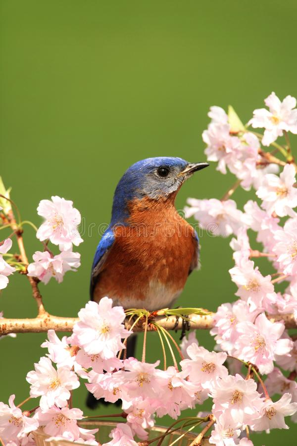 Eastern Bluebird stock images