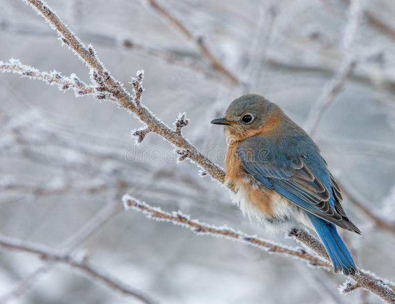 Eastern Bluebird perched on a frosty branch stock images