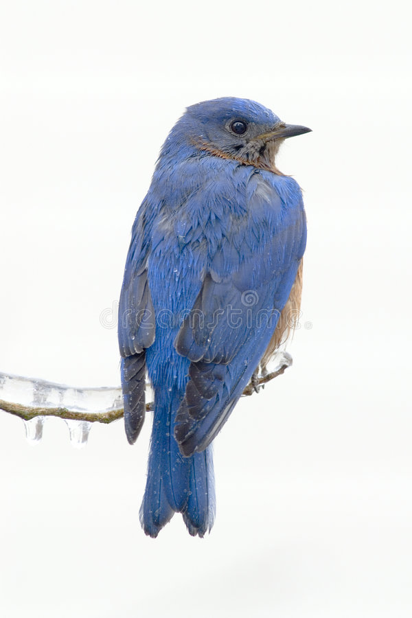 Eastern bluebird (sialia sialis) royalty free stock photo