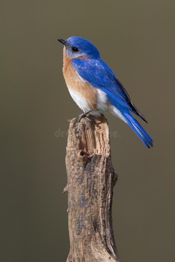 Eastern Bluebird (Sialia Sialis) Royalty Free Stock Images