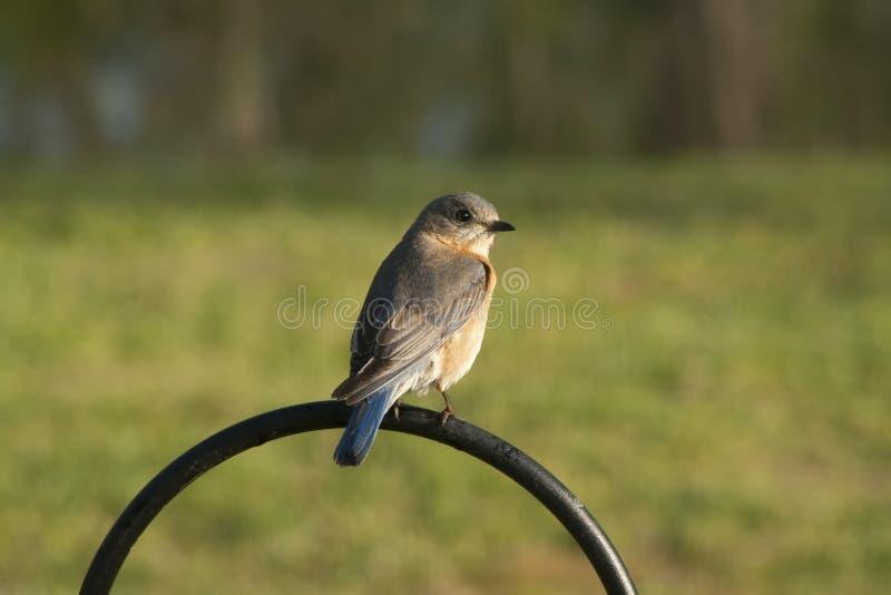 Eastern Bluebird - Sialia sialis stock photos