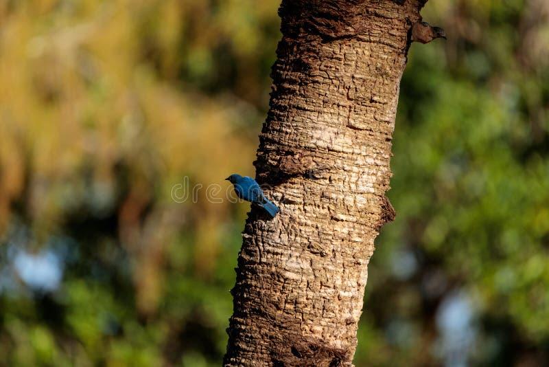 Eastern bluebird Sialia sialis stock images