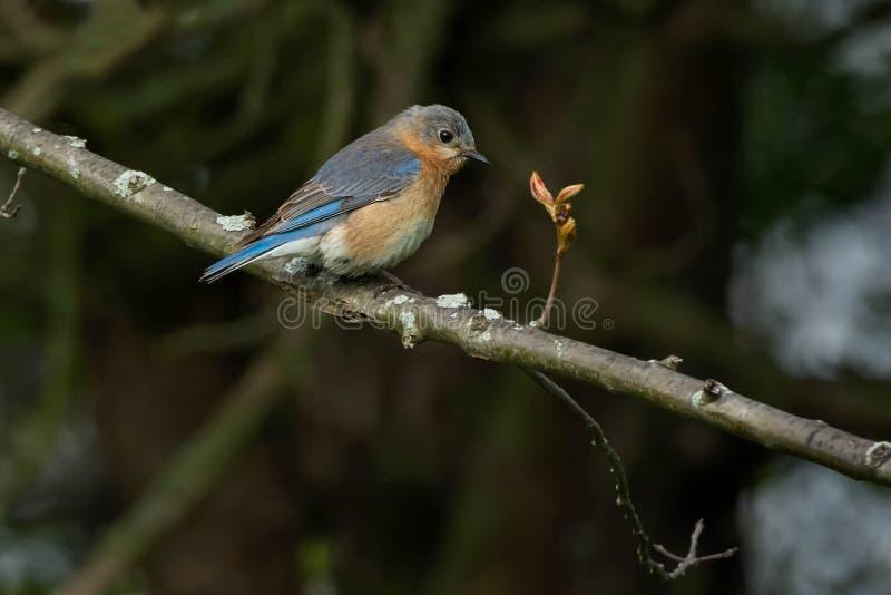 Eastern Bluebird - Sialia sialis royalty free stock photography