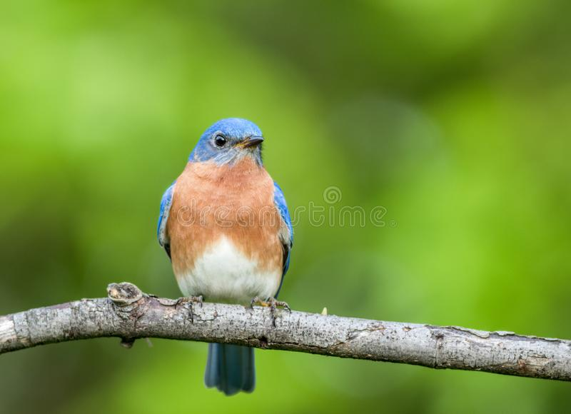 Eastern Bluebird, Sialia sialis, male perched with simple green background room for text royalty free stock images