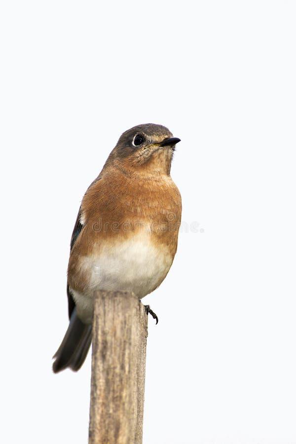 Eastern Bluebird (Sialia Sialis) Royalty Free Stock Photos