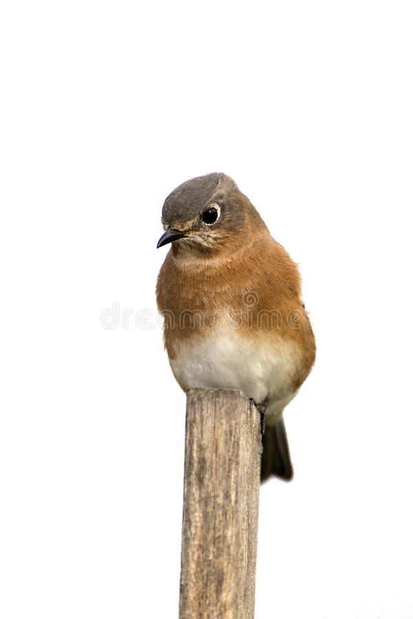Download Eastern Bluebird (Sialia Sialis) Stock Image - Image: 33114899