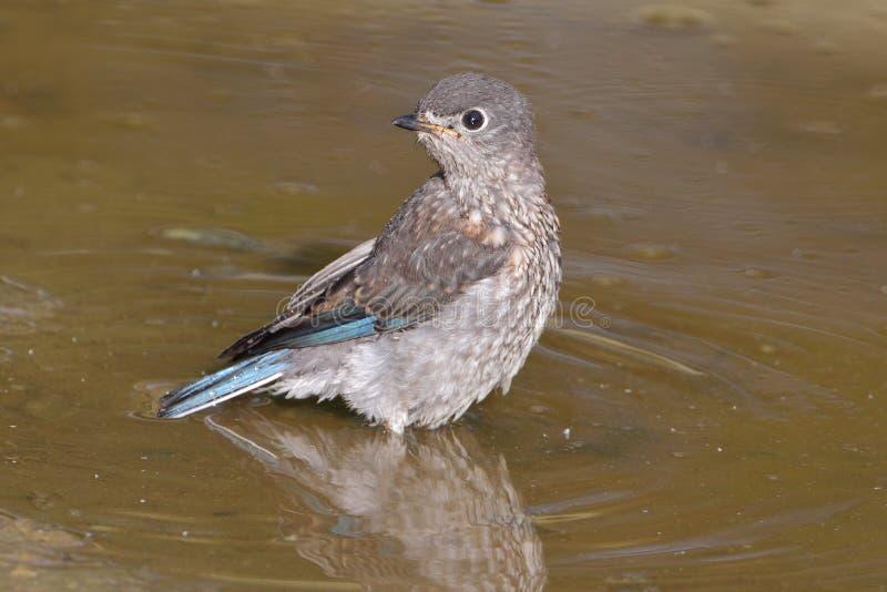 Eastern Bluebird royalty free stock photos