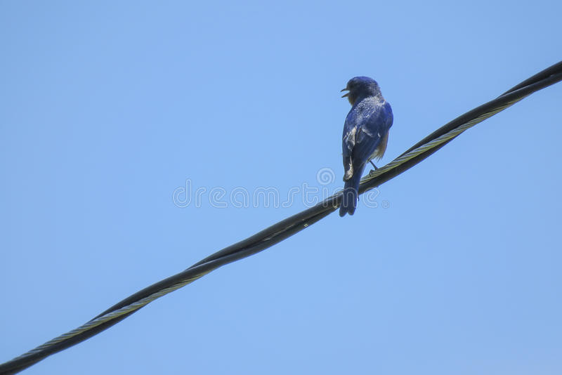 Eastern Bluebird On The Wire. An Eastern Bluebird chirping communication to other Bluebirds in the area at the Citizen's Lodge in Marianna, FL where the Chipola royalty free stock photography