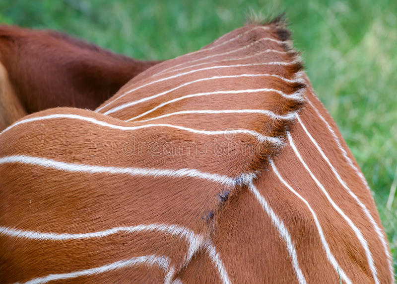 Eastern Bongo royalty free stock photo