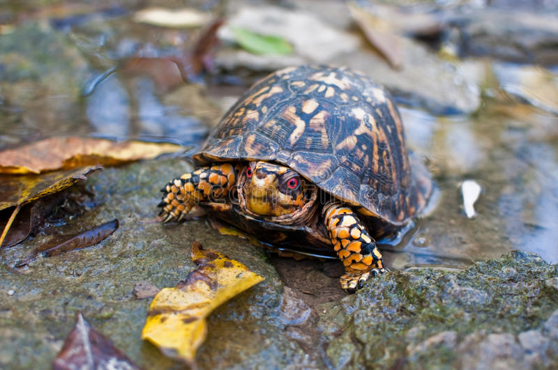 Eastern Box Turtle. An Eastern Box Turtle found in a creek flowing into Taylorsville Lake, Kentucky royalty free stock images