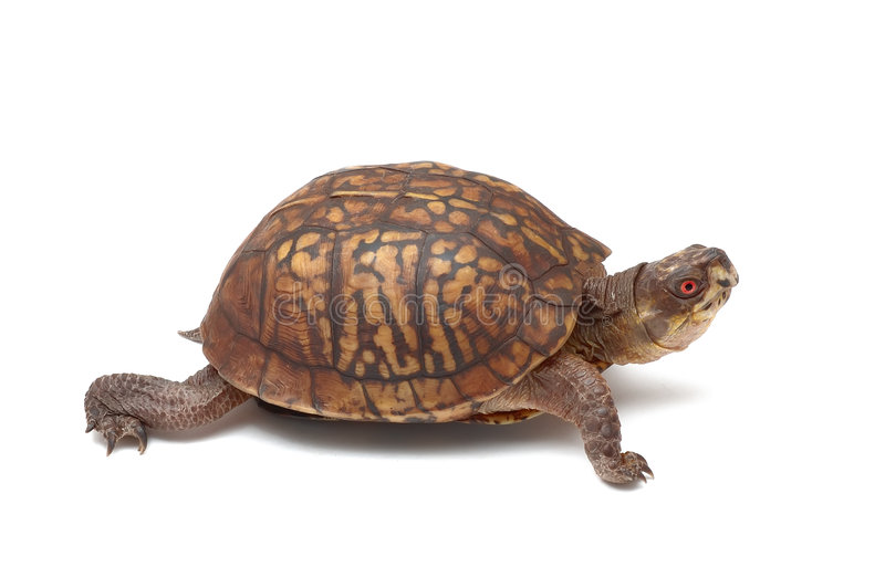 Download Eastern Box Turtle stock photo. Image of animal, persistance - 7504220