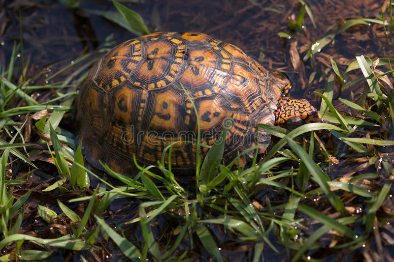 Eastern box turtle in grass. Eastern box turtle walking through a wet, grassy ditch in rainwater puddles royalty free stock photography