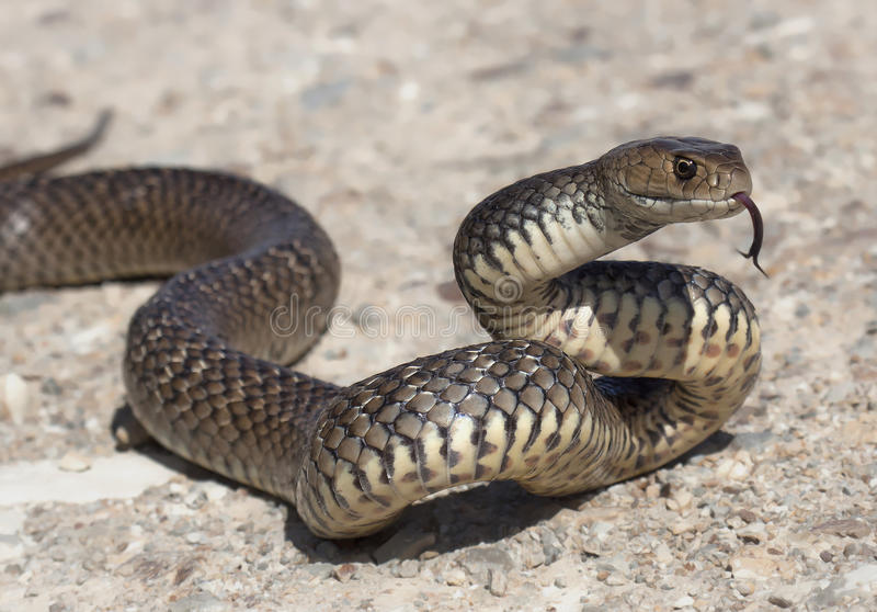 Eastern brown snake (Pseudonaja textilis). A fast moving and deadly elapid snake from eastern Australia starts to form a defensive 'S' shape as it senses a human royalty free stock image