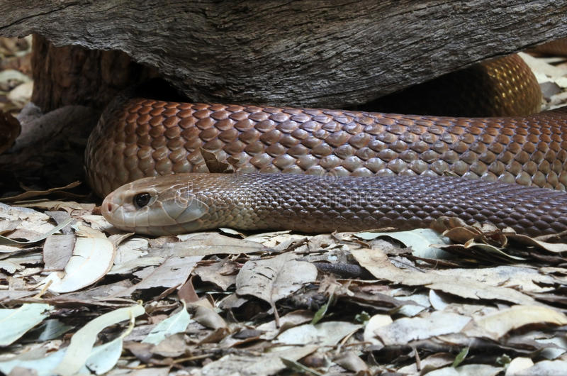 Eastern brown snake. In Sydney New South Wales Australia. considered the world's second most venomous land snake based on its LD50 value (SC) in mice.[2][3] It stock photo