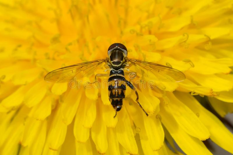 Eastern Calligrapher Hover Fly - Toxomerus geminatus royalty free stock images