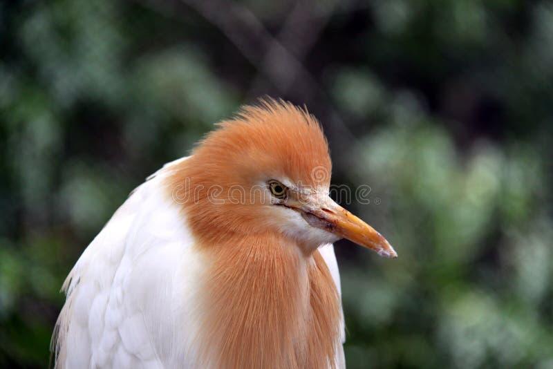 Eastern Cattle Egret in Breeding Season Plumage
