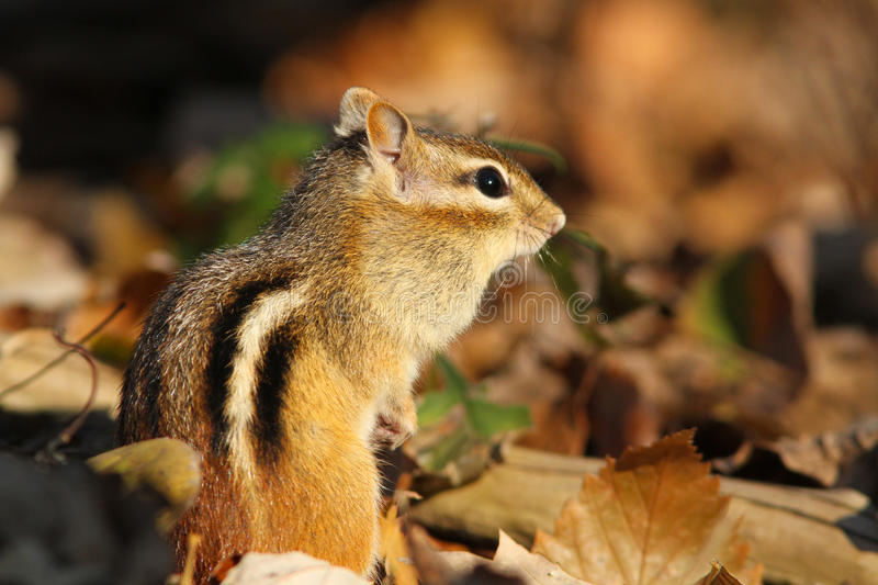 Download Eastern Chipmunk stock image. Image of acorn, collect - 21869151