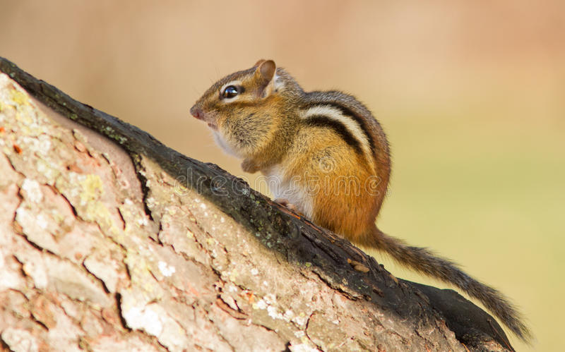 Download The Eastern Chipmunk stock photo. Image of animal, brown - 27768582
