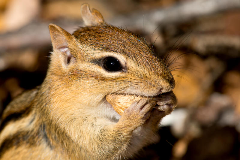 Eastern Chipmunk - Tamias striatus. Close up of an Eastern Chipmunk eating a peanut. Algonquin Provincial Park, Ontario, Canada royalty free stock images