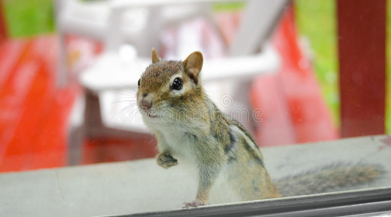 Eastern Chipmunk peeks through the window into my house. Eastern Chipmunk (Tamias), at the window having a peek inside royalty free stock image