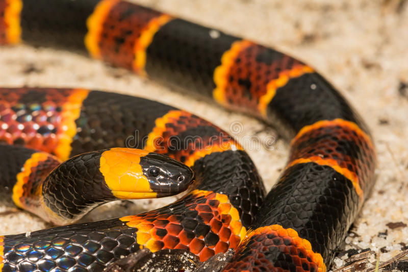 Eastern Coral Snake. An Eastern Coral Snake in the sand hills at Apalachicola National Forest royalty free stock photography