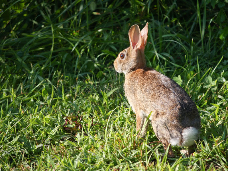 Download Eastern Cottontail Rabbit stock photo. Image of watching - 10334518